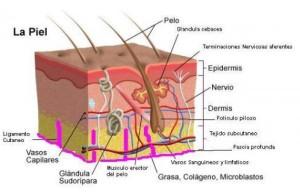 dermisyepidermis
